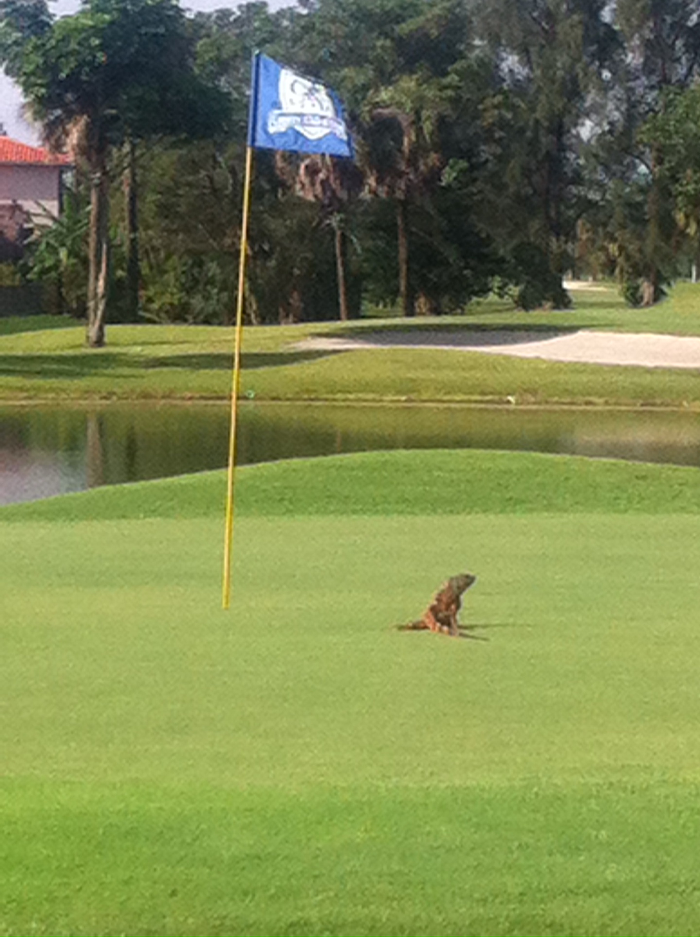 Iguana on the course
